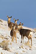 Mule deer (Odocoileus hemionus)doe with fawn in Wyoming