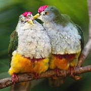Beautiful Fruit Dove (Pitillinopus pulchellus) in Papua, New Guinea. Captive Animal.