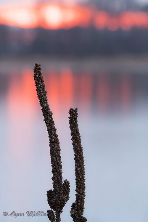 Beautiful colors of sunset create the background for these driend winter Mullein seed pods.  Bombay Hook NWR, Delaware