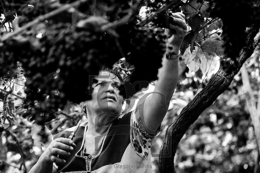 Jacquet wine tradition in the north coast of the Madeira Island, Portugal--- A tradição do vinho Jacquet na costa norte da Ilha da Madeira..Photo Gregório Cunha