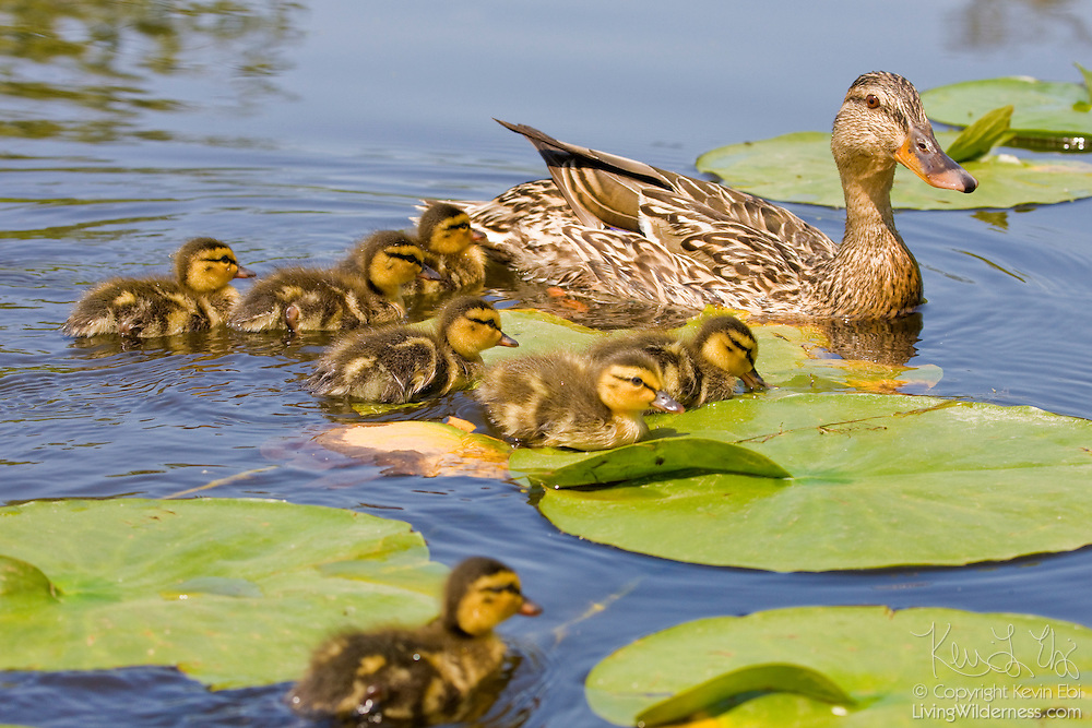 A female mallard duck (Anas platyrhynchos) leads her babies through lily pads in the Seattle Arboretum in Washington state.