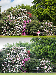 © Licensed to London News Pictures. 18/05/2016. Leeds UK. YESTERDAY & TODAY WEATHER COMPARISON. Top picture taken 17/05/2016 shows a lady sitting in the sunshine at Temple Newsam park yesterday. Bottom picture taken 18/05/2016 shows a woman sitting in the rain today at Temple Newsam park in Leeds. Photo credit: Andrew McCaren/LNP
