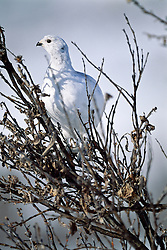 Willow ptarmigan takes cover in willow shrubs
