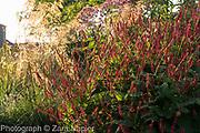 Persicaria affinis 'Superba' RHS AGM and Stipa gigantea - September