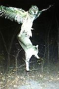 Exclusive<br /> Amazing Image showing how an Owl swoops down and Captures a Domestic Cat <br /> <br /> This amazing image captured on camera showing a domestic cat being captured by a Owl, An owl and a cat would be a fair fight on even ground, to give the Owl an advantage the owls pick the cats up high in the air and drop them repeatedly till they cant run away, then they eat them, still alive. this amazing capture happened in Minnesota USA.<br /> ©Exclusivepix