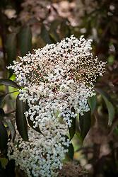 Sambucus nigra 'Cappucino'. Elder