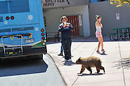 A bear cub saunters across the sidewalk near the Snowmass Village bus stop in Snowmass, Colorado.