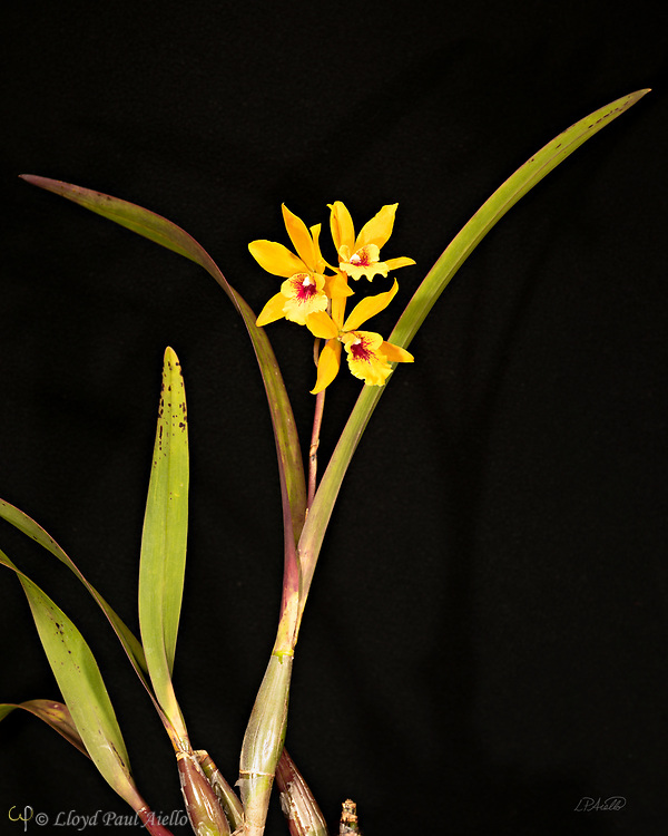 Mini Cattleya orchid bloomed by the photographer.  The cattleya is a genus containing 113 species of orchids that are indigenous from Costa Rica to tropical South America, growing throughout the Amazon region and to the south of Brazil..  The cattleya  is an epiphyte (air plant),  which stores water in expanded stems called pseudobulbs.