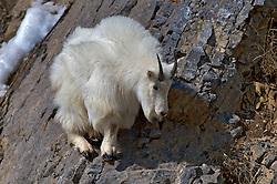 Mountain Goat, cliff, balance, sure footed, Snake River Range, Alpine, Wyoming
