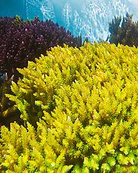 various hard or stony corals - staghorn corals, Acropora sp., Indo-Pacific Ocean (c)
