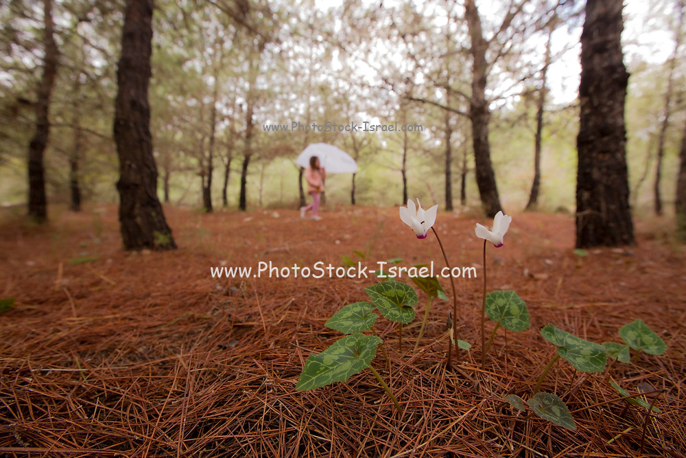 Flowering Persian Violets (Cyclamen persicum). Photographed in Manashe Forest, Israel in December. Out of focus children hiking in background