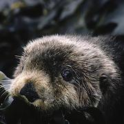 Sea Otter adult resting among seaweed-covered rocks in southwest Alaska.