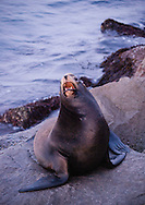 A sea lion barking from a rocky shoreline in Monterey, California