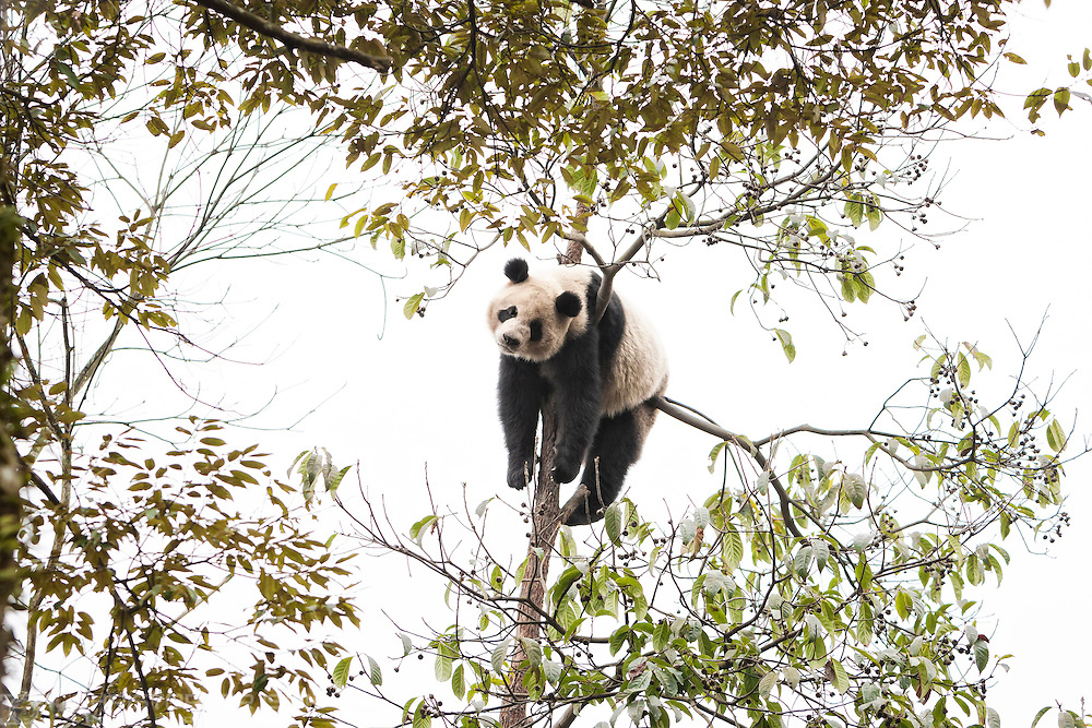 A Giant Panda relaxes in a tree at the Bifengxia Panda Centre near the city of Ya'an in Sichuan Province, China. A pair o Giant Pandas from the breeding centre are being loaned to Edinburgh Zoo in an historic agreement between the Royal Zoological Society of Scotland and the Chinese Wildlife Conservation Society.