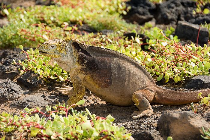 Land Iguana (Canolophus subcristatus) in a lush vegetation field.  Galapagos, Ecuador.