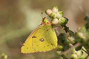 Dark Clouded Yellow or Common Clouded Yellow (Colias croceus)