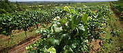 Vines ready for picking, Hunter Valley Vineyard, NSW, Australia Vines ready for picking, 2008 Vintage, Hunter Valley Vineyard, NSW, Australia
