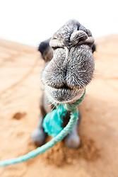 Camel portrait, Erg Chebbi, Saharan Desert, Morocco