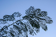 Silhouetted leaves with blue sky background