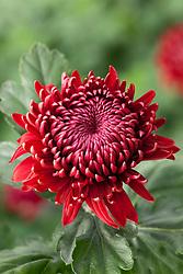 Chrysanthemum 'Red Regal Mist'