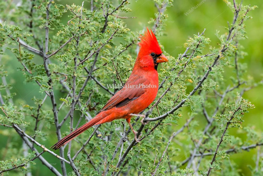 Male Northern Carninal perched in acacia (Acacia farnesiana), Sabino Canyon, AZ