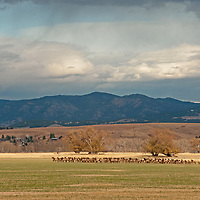 A herd of Elk (Cervus canadensis) grazes in a field near Bozeman, Montana. The Bridger Mountains rise in the background.
