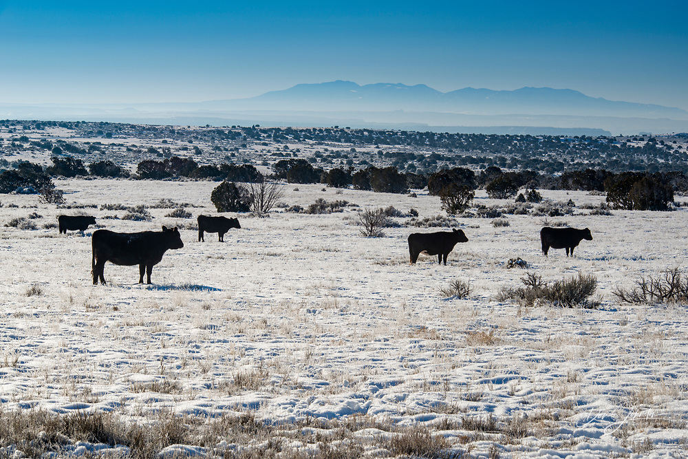 Free-range cattle in frosted rangeland, near Dead Horse Point State Park, Utah, USA