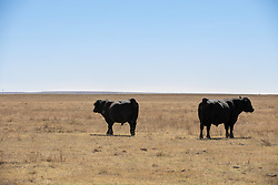 two Bulls in a open field facing opposite directions
