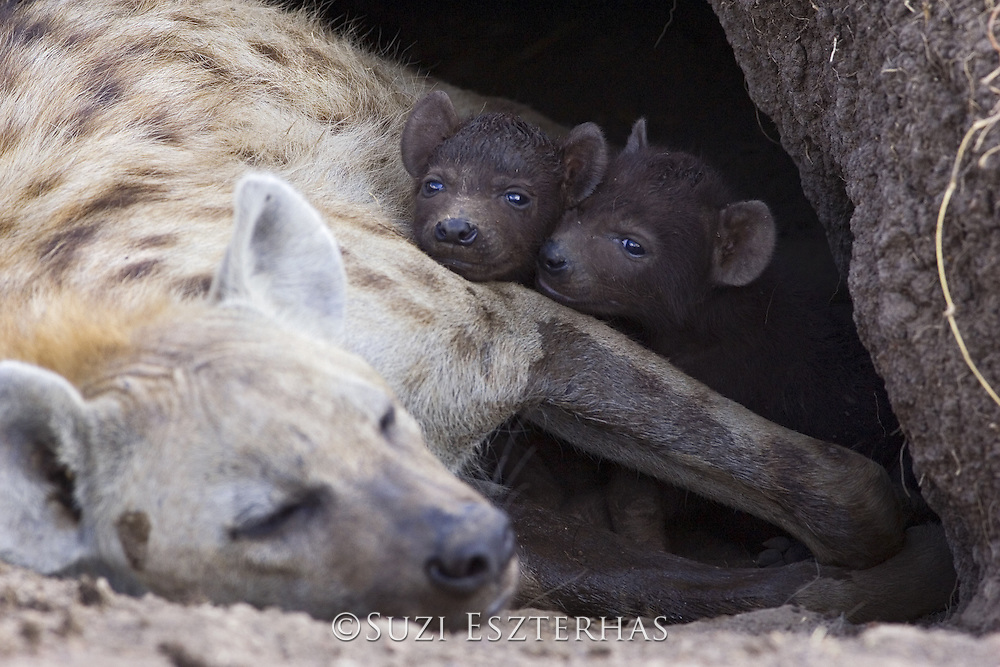 Spotted Hyena<br /> Crocuta crocuta<br /> 22 day old cubs in den with mother<br /> Masai Mara Conservancy, Kenya