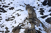 LADAKH, INDIA: Adult male snow leopard (unica unica) stands up on snow covered rock in Hemis National Park.