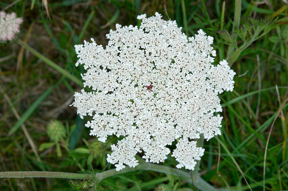 WILD CARROT Daucus carota carota (Apiaceae) Height to 75cm. Upright or spreading hairy perennial with solid, ridged stems. Found in rough grassland, mostly on chalky soils or near the sea. FLOWERS are white (pinkish in bud) and are borne in long-stalked umbels, up to 7cm across, the central flower of which is red; note the divided bracts beneath (Jun-Sep). FRUITS are oval, with spiny ridges; fruiting umbels are concave. LEAVES are 2- or 3-pinnate with narrow leaflets. STATUS-Widespread and locally common, except in the N. Note Sea Carrot D.c.gummifer is similar but has more fleshy leaves and umbels that are flat or convex (not concave) in fruit. Found on cliffs, rocky slopes and dunes by the sea.