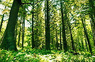 Forest. Road trip from Aberdeen Oregon to San Francisco California along the Pacific Coast.