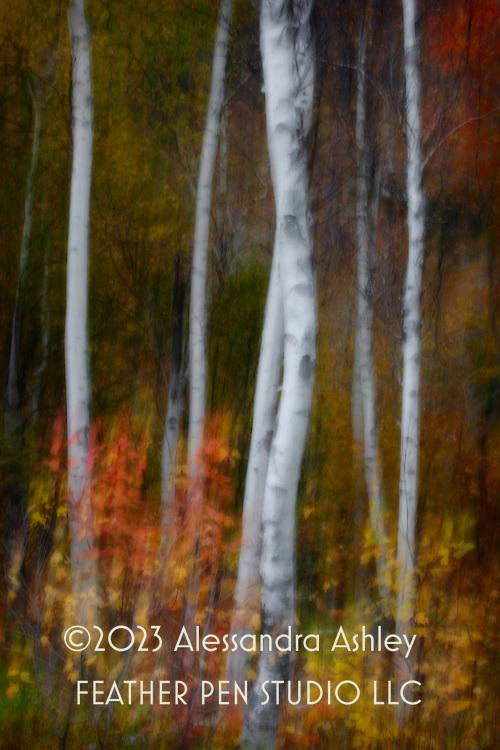 "Long-exposure tilt, soft-glow montage of ""hugging"" birch trunks amid autumn foliage.  Mt. Washington, Gorham, New Hampshire."
