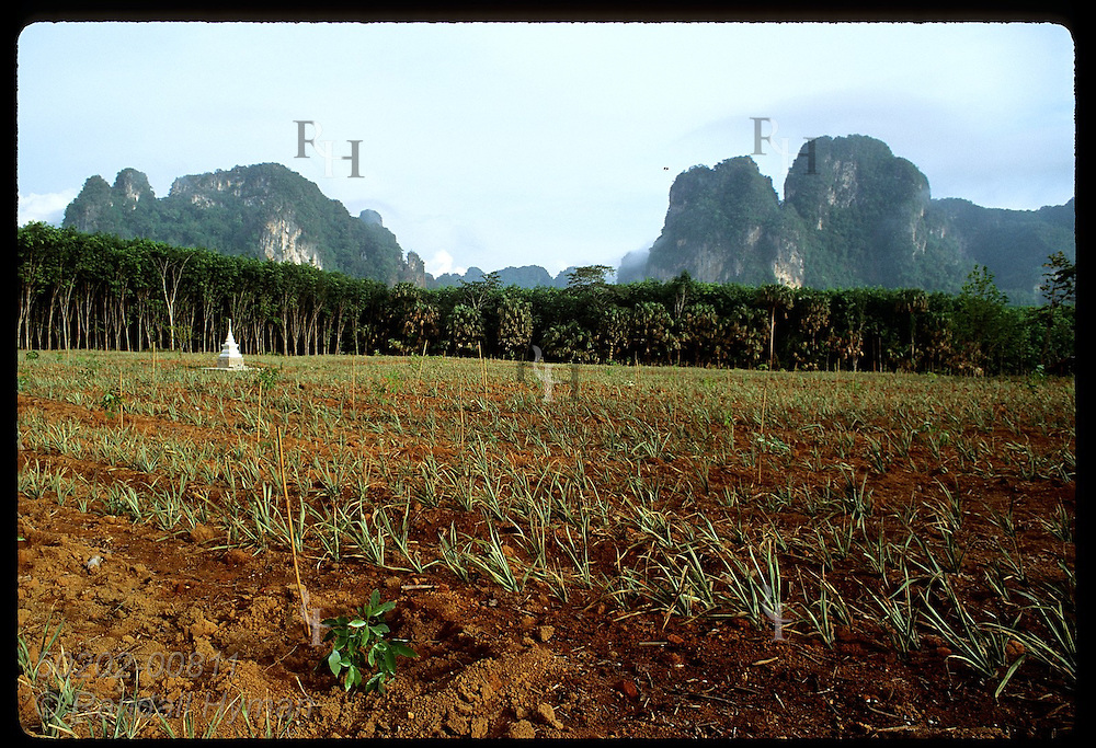 Small Buddhist monument graces pineapple field below limestone mountains in province of Krabi. Thailand