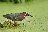 Green Heron Butorides virescens Green Cay Nature Center Delray Beach Florida USA