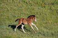 Frisky colt Wild horses in Theodore Roosevelt National Park, North Dakota, USA