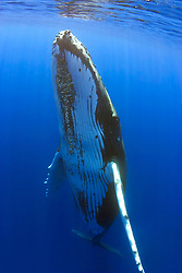humpback whales, Megaptera novaeangliae, note parasitic acorn barnacles, Cornula diaderma, Hawaii, Pacific Ocean
