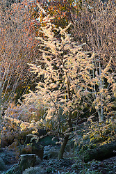 Larix decidua 'Little Bogle' syn L. europaea - larch, illuminated by first light on a frosty winter's morning in John Massey's garden