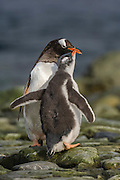 A gento Penguin (Pygoscelis papua) check begs for food from its parent, Ronge Island, Antarctic Peninsula