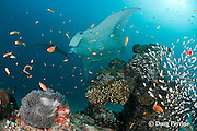 reef manta ray, Manta alfredi (formerly Manta birostris ), being cleaned by cleaner wrasses at patch reef populated by yellow sweepers, orange basslets, midas blennies, giant anemone, and other reef life, Sunlight Thila, Lankan, North Male Atoll, Maldives ( Indian Ocean )