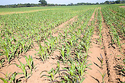 Young crop of sweetcorn growing in field, Shottisham, Suffolk, England