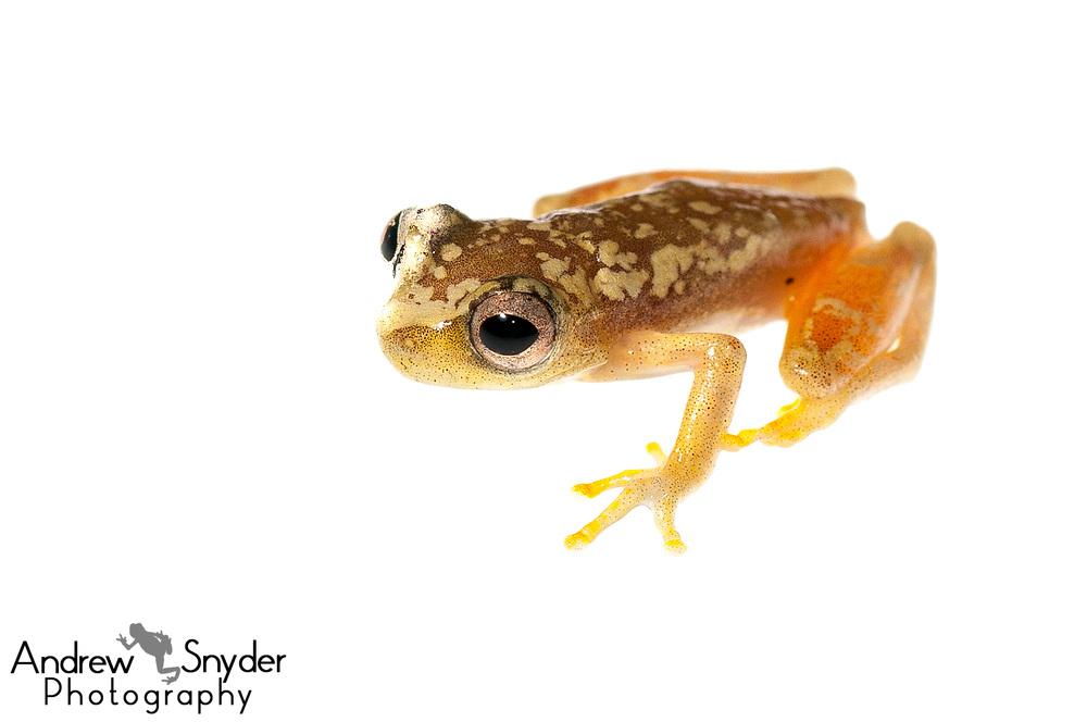 Lesser treefrog, Dendropsophus minutus, Iwokrama, Guyana, July 2013