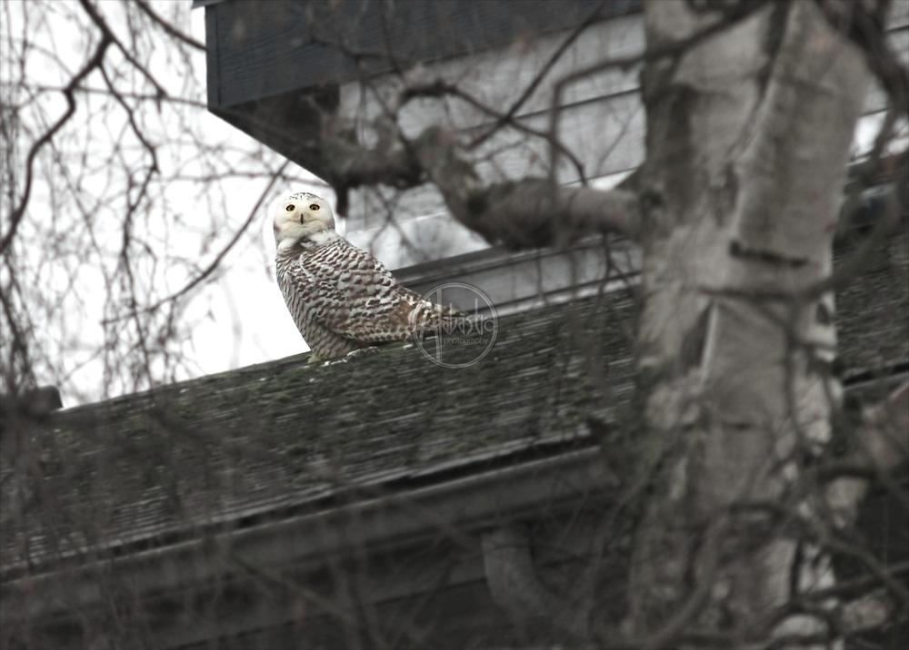 Snowy Owl near Sunset Hill Park in Ballard (Seattle WA), January 2013.