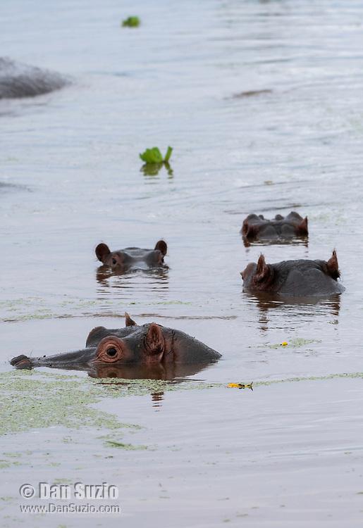 Hippopotamuses, Hippopotamus amphibius, in a pond in Lake Manyara National Park, Tanzania