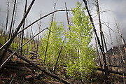 Quaking aspen (Populus tremuloides) emerge from the remains of a forest fire in the Lost Creek Wilderness, Colorado.