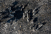 Aerial view of Burchell's zebras ( Equus burchellii), searching for pastures after a bush fire, Okavango Delta, Botswana.