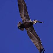 Brown Pelican, (Pelecanus occidentis) Sea of Cortez. Baja, Mexico In flight.