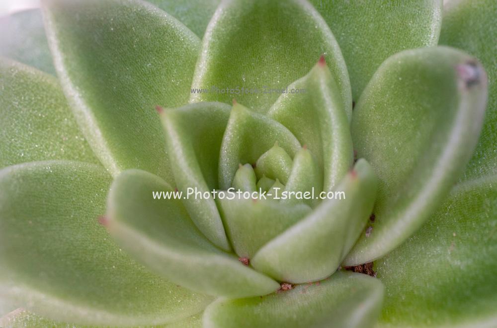 Close up of Houseleek (Sempervivum tectorum)