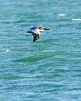 Brown Pelican (Pelecanus occidentalis). Fort De Soto Park. Pinellas County, Florida. Image taken with a Nikon D700 camera and 300 mm f/2.8 VR lens and 2.0x TC-E teleconverter.