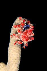 cryptic teardrop crab, Pelia mutica, on octocoral, City of Washington wreck, Key Largo, Florida Keys National Marine Sanctuary, Atlantic Ocean
